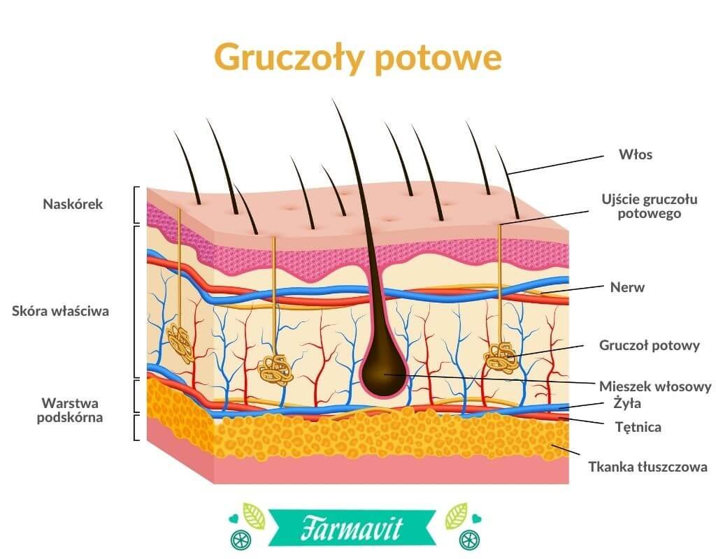 Schemat budowy skóry - gruczoły potowe